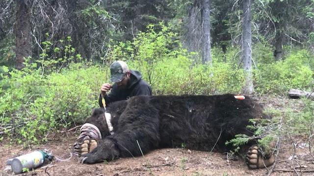 Grizzlies Wandering Into New Parts Of Washington Idaho Local - Us-black-bear-population-map
