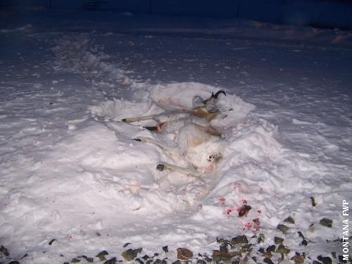 Pronghorn hit by train
