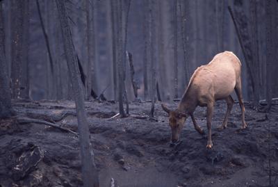 Elk in Yellowstone, 1988