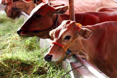 livestock stockimage