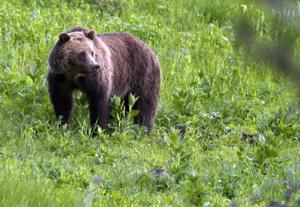 FWP moves grizzly bear found near Avon