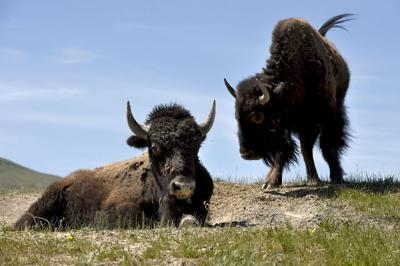 043015 bison range5 kw.jpg (copy)