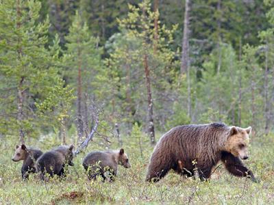 Swedish brown bears