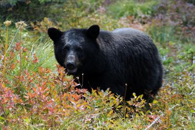 Black bear in a huckleberry bush