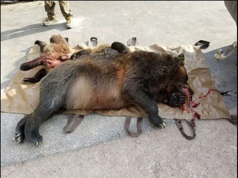 Dead grizzly sow and cubs