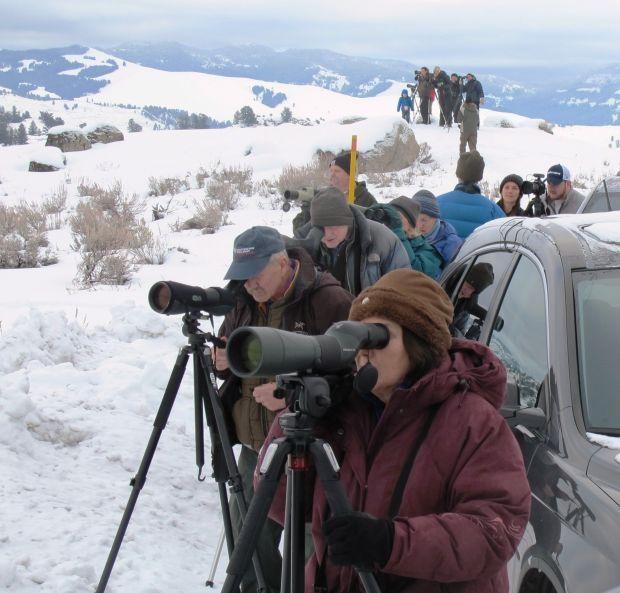 Tower Junction wolf watchers
