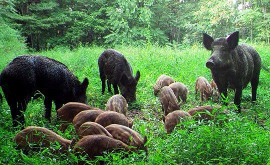 Feral pigs