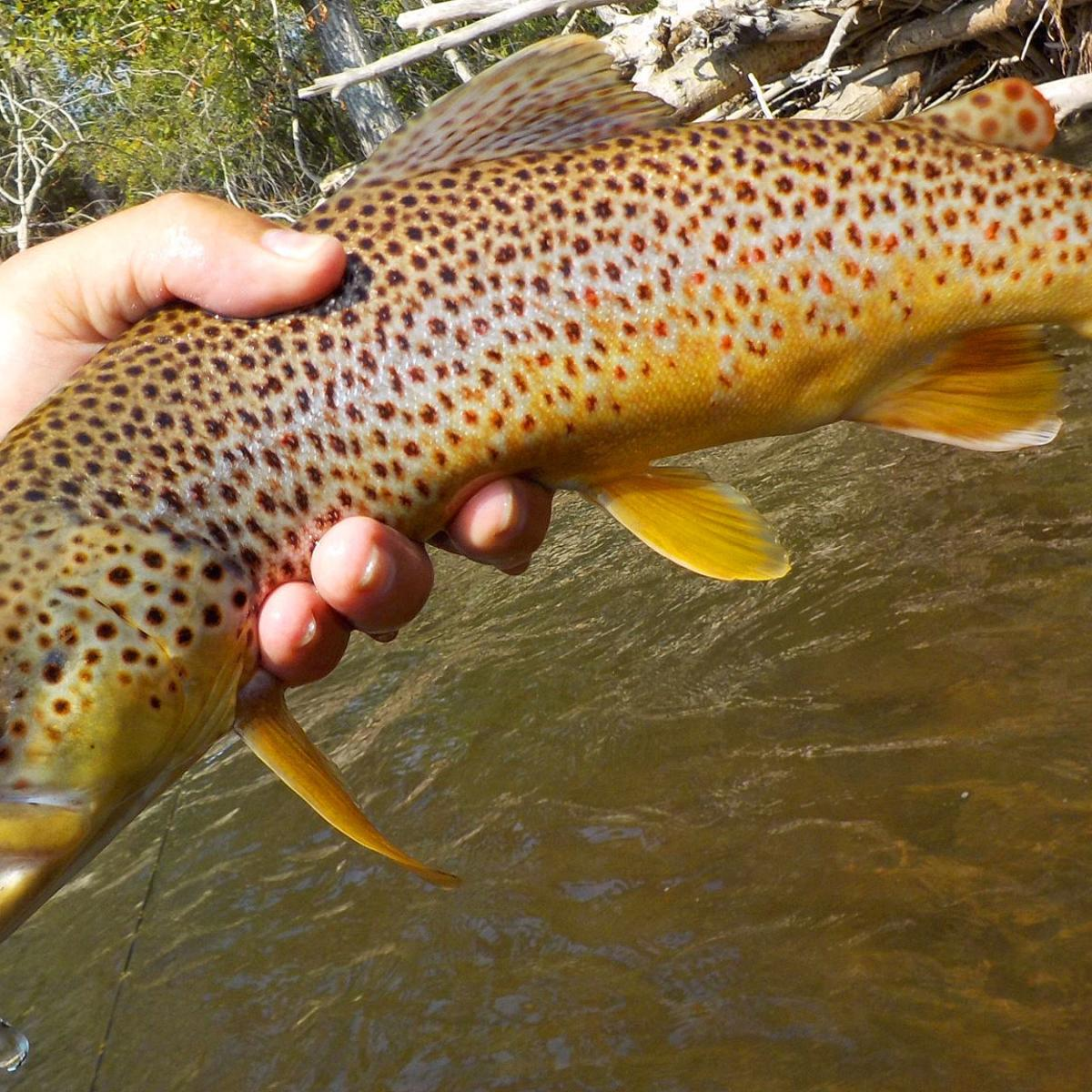 Montana fishing report: Brown trout bite surges as fall