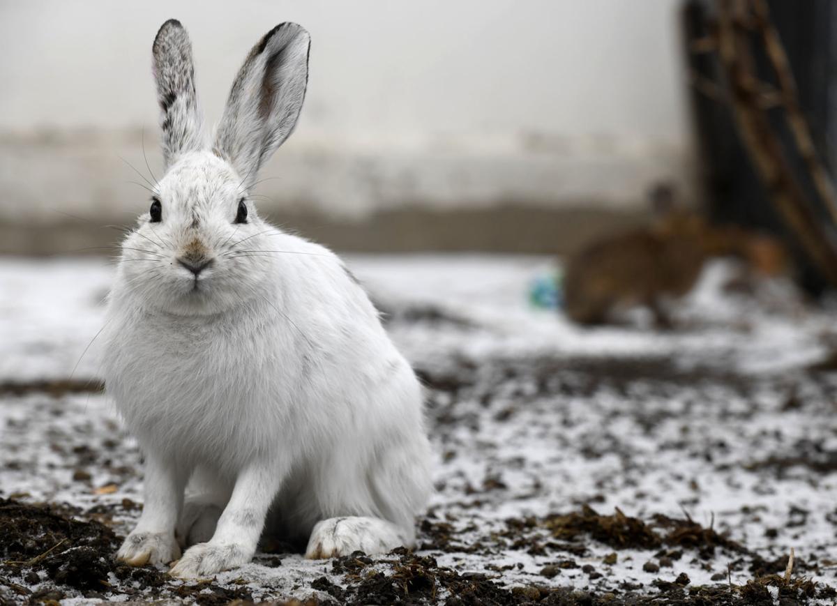 031818 hares-1-tm.JPG