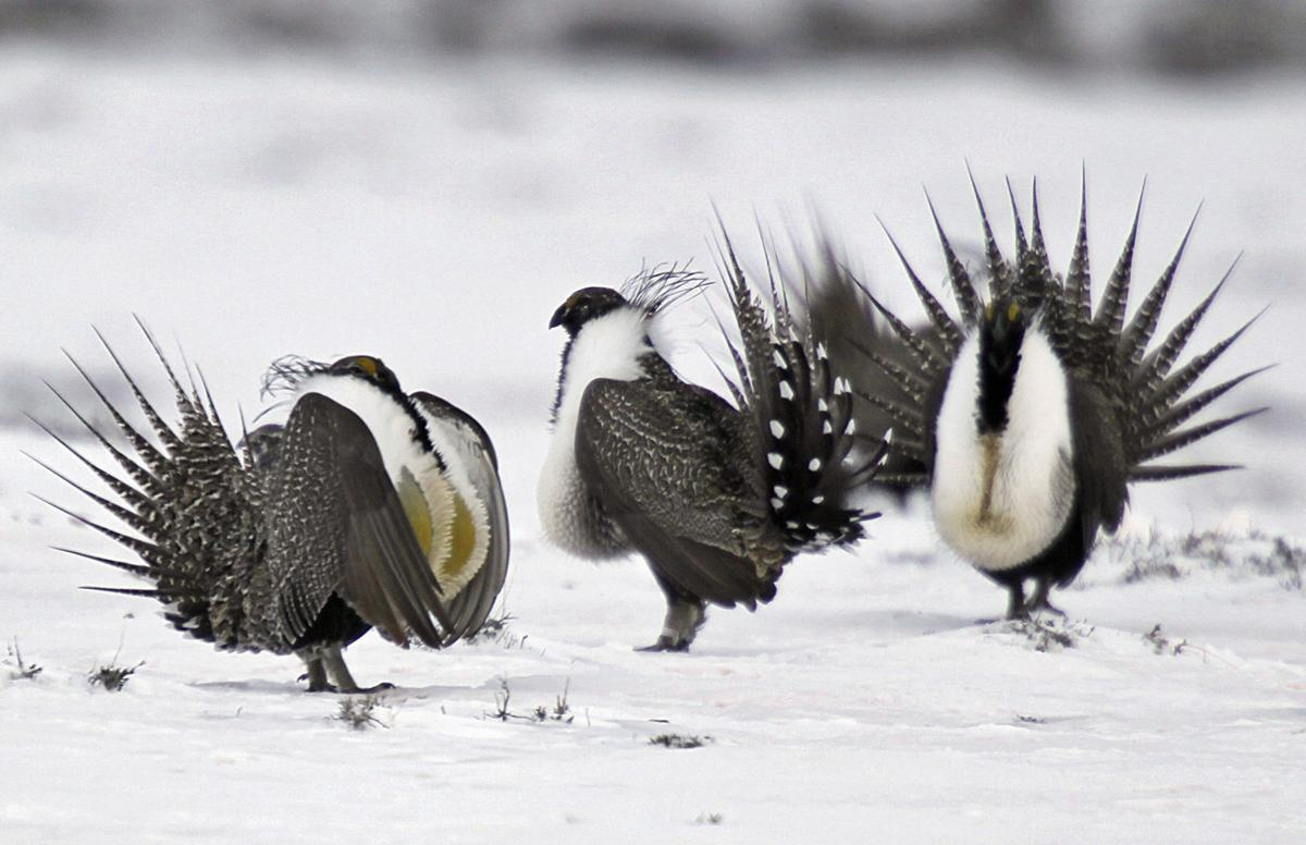 Interior chief to review sage-grouse conservation plan
