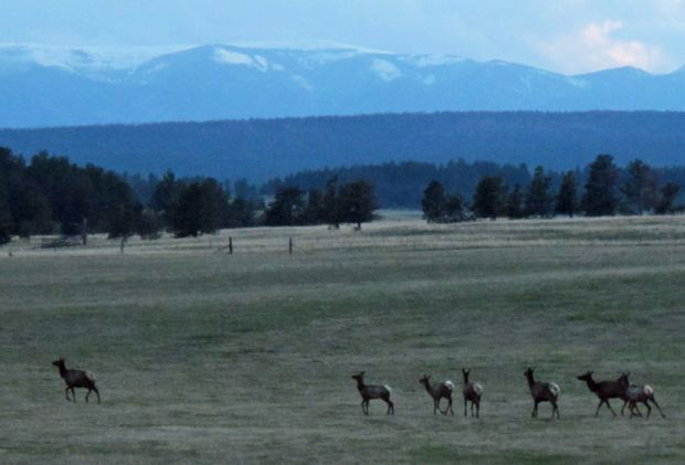 Elk trot across a pasture