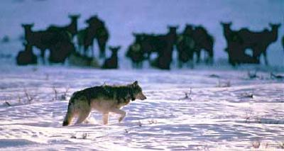 Buying wolf tolerance