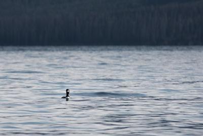 Yellowstone Lake loon