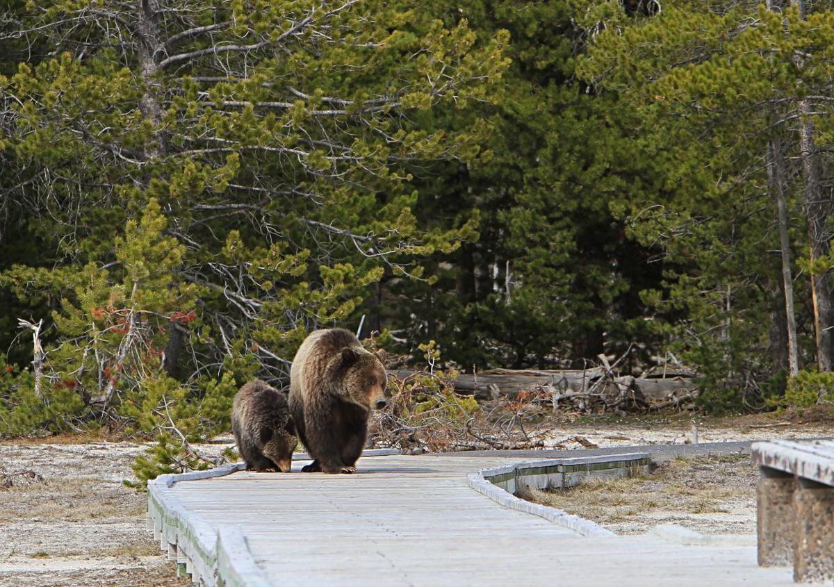Grizzly bears on a boardwalk