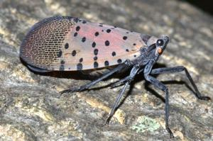 Spotted Lanternfly discovered in state