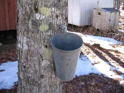 Tapping a maple