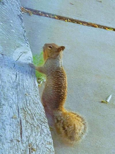 This is the new squirrel hanging out around our house