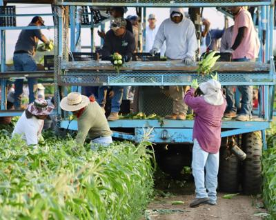 Crops looking good as Sweet Corn Festival makes a comeback