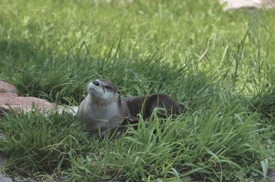A river otter lounging in the grass for the camera.
