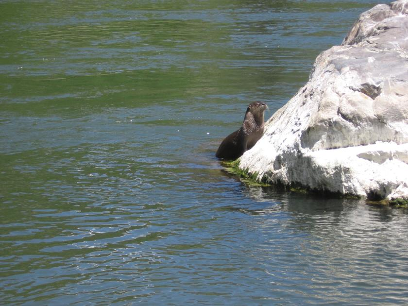 COLUMN: You 'otter' go with the flow | Outdoors - Montrose Daily Press