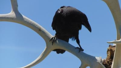 Ravens carry many spiritual meanings