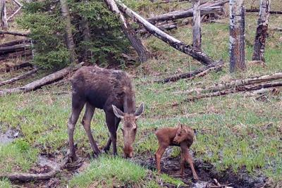 Recent moose attacks prompt safety reminder as wildlife act to protect young