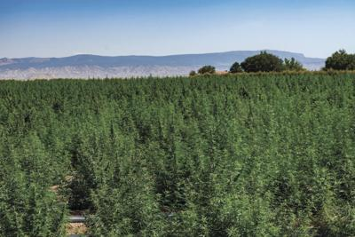 Agriculture in Brief: Hemp pilot program extended; new COVID relief fund for farmers