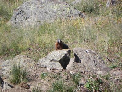 This is how you usually find a marmot