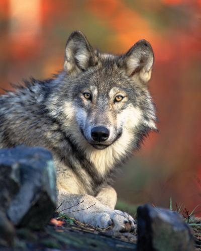 Gray wolves like this one could be reintroduced to Colorado