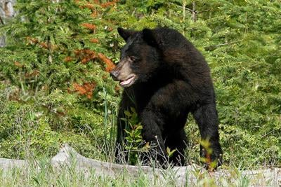 Be aware of the bandit bear in bear country