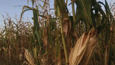 Colorado corn farmers got their crop planted before growers in the Midwest this year