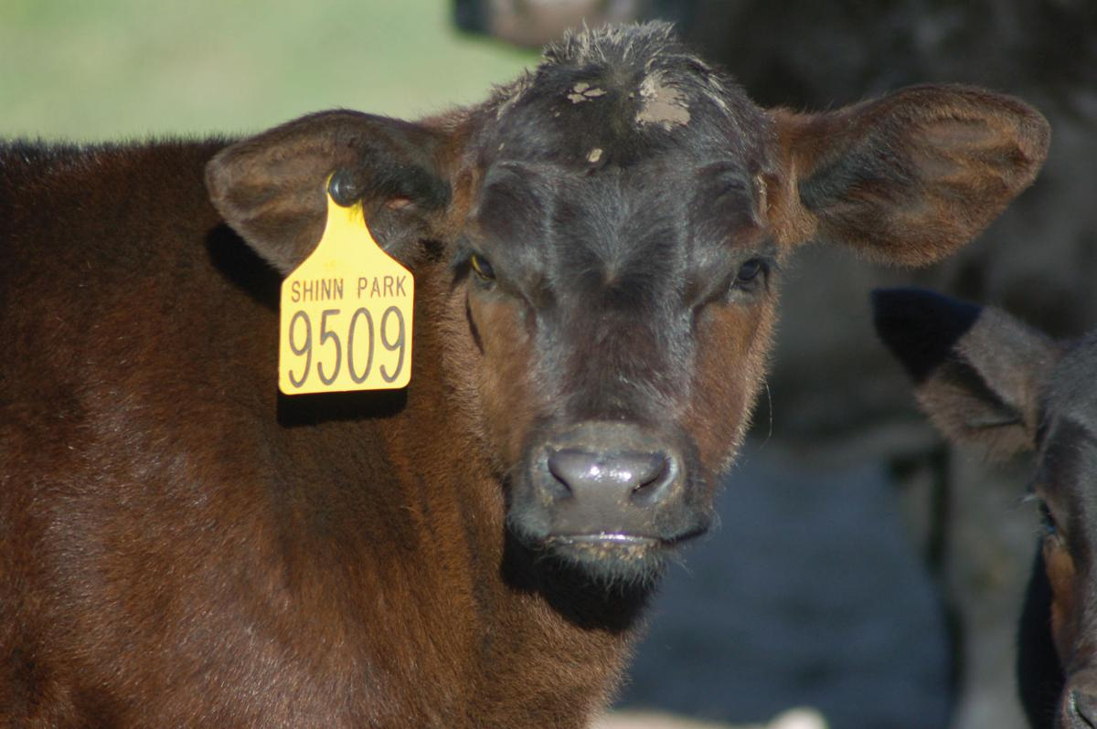 A Shinn Park Ranch Angus calf