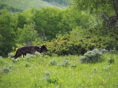 Wolf sighted in Jackson County