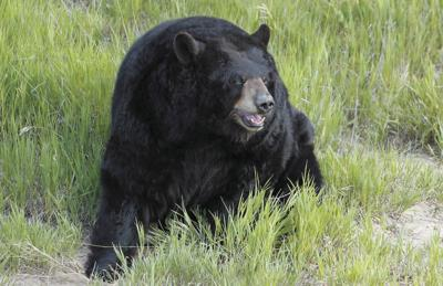 Bears will continue their intense search for food