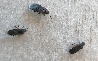 Are you experiencing annoying little bugs on the side of your house?