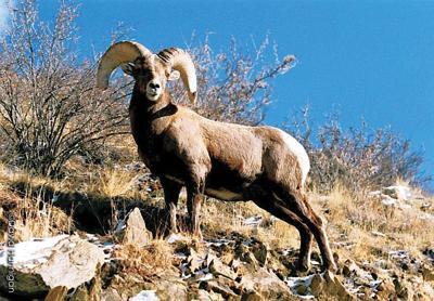 A Bighorn Sheep stands sentry on a hillside