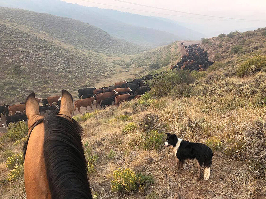 Cow calf pairs Grizzly Gulch fire