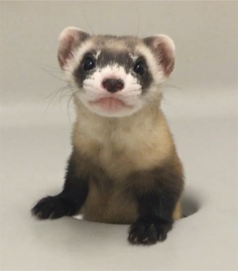 Cloned black-footed ferret points way to species recovery