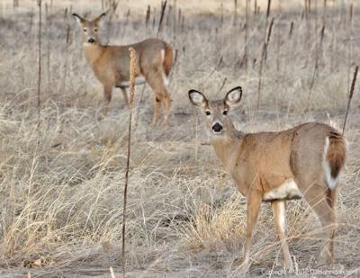 OUTDOORS: Hybrid deer hard to spot