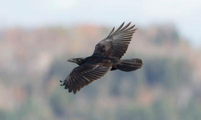 Raven flight and wing action adapt to changing conditions