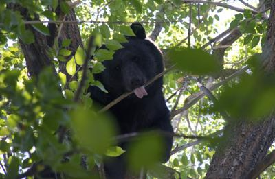 Common sense can reduce bear encounters as bruins lard up for winter