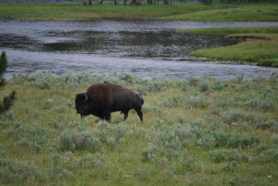 A buffalo in Yellowstone National Park.