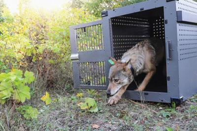 a 4-year-old female gray wolf emerging from her cage