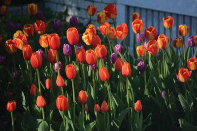 Lets talk about spring flowering bulbs outdoors montrosepress this is the time of year to plant for a pop of spring color mightylinksfo