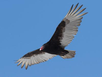 It's ugly and has a horrible diet: Soaring with turkey vultures