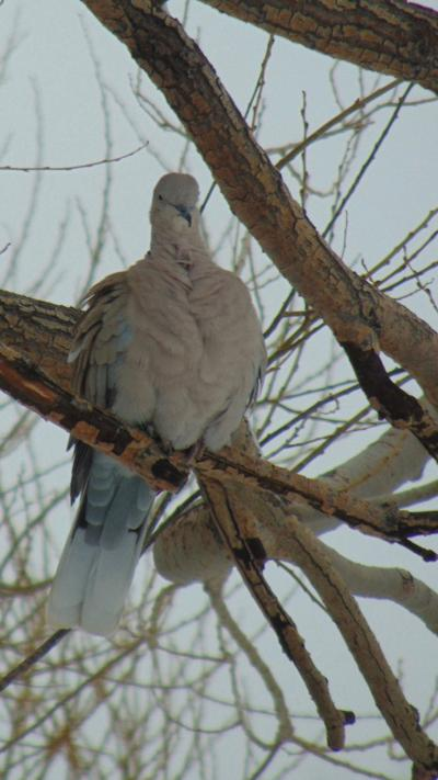 A photo of an Eurasian collared dove