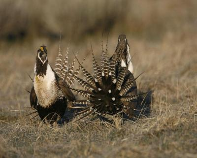 Too little, too late? Activists call for halt of development, grazing in Gunnison sage-grouse habitat to pull bird from 'extinction vortex'
