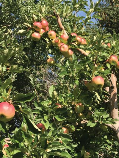 Disaster relief available for fruit crop losses