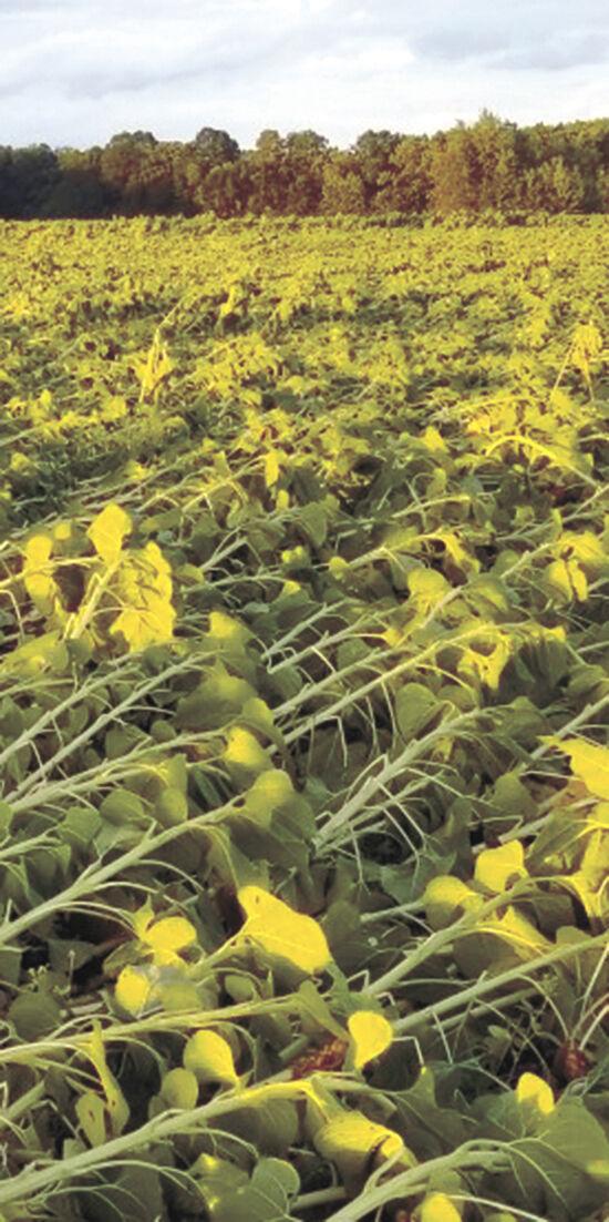 Sunflowers flattened