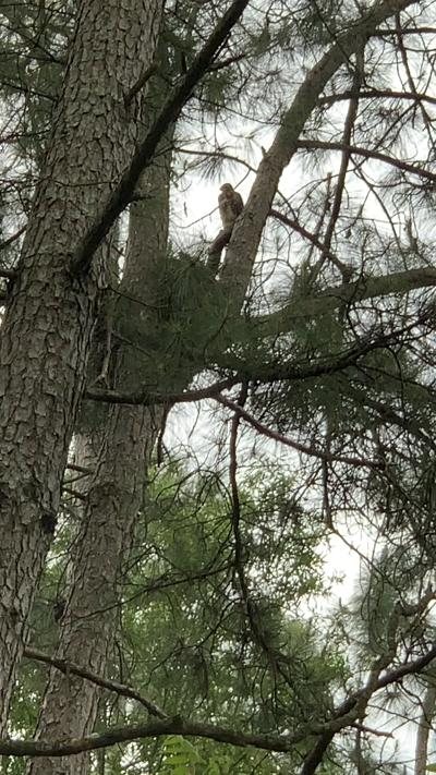 Red-shouldered hawks make interesting neighbors